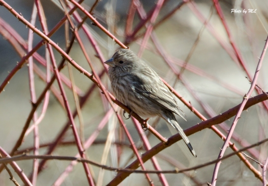 Chinese Beautiful Rosefinch lives up to its name!