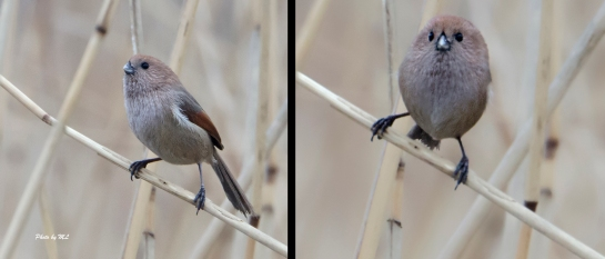 Vinous-throated Parrotbill in flocks!