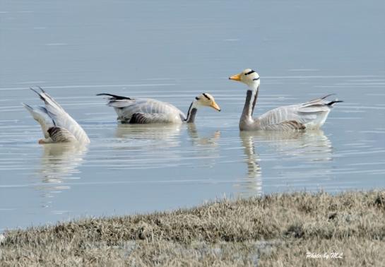 bar-headed goose at Napa lake!