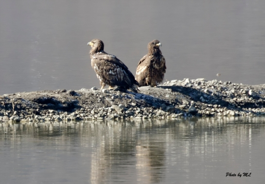 white-tailed eagles keeping a watchful eye at Napa Lake!