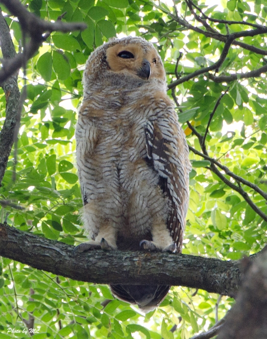 spotted wood owl- Juvenile