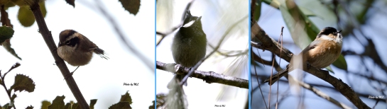 From left-White-browed fulvetta, Crested tit, Black-browed tit