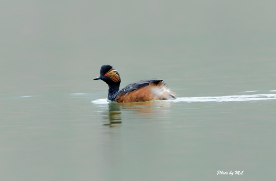 black-necked grebe, Xinjiang