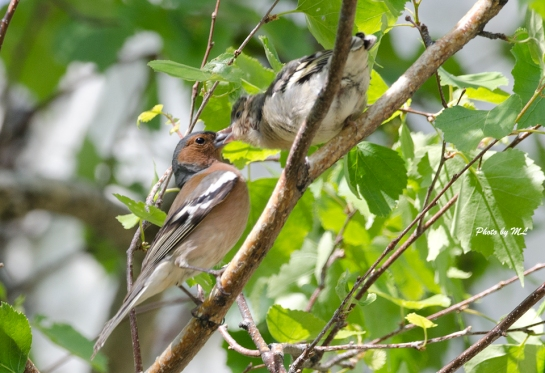 chaffinch feeding chick