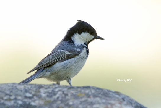 coal tit, border of Kazakhstan and Xinjiang