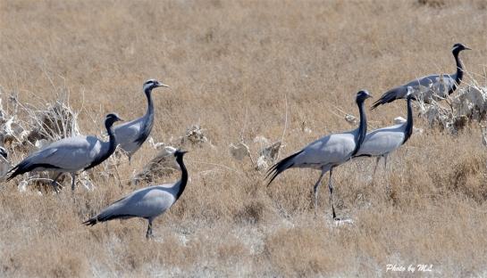 demoiselle cranes in Xinjiang