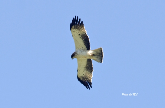Booted eagle at border of Xinjiang and Kazakhstan