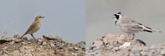 From left- Isabelline wheatear, Horned lark