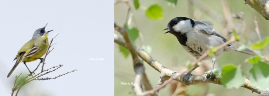 Lesser Whitethroat and Turkestan Tit