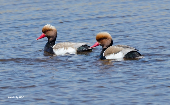 red-crested Pochard in Xinjiang
