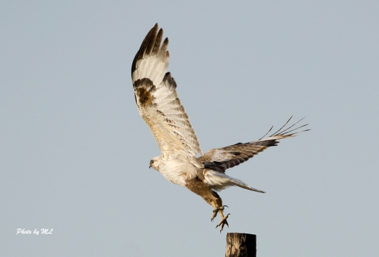 upland buzzard in Xinjiang