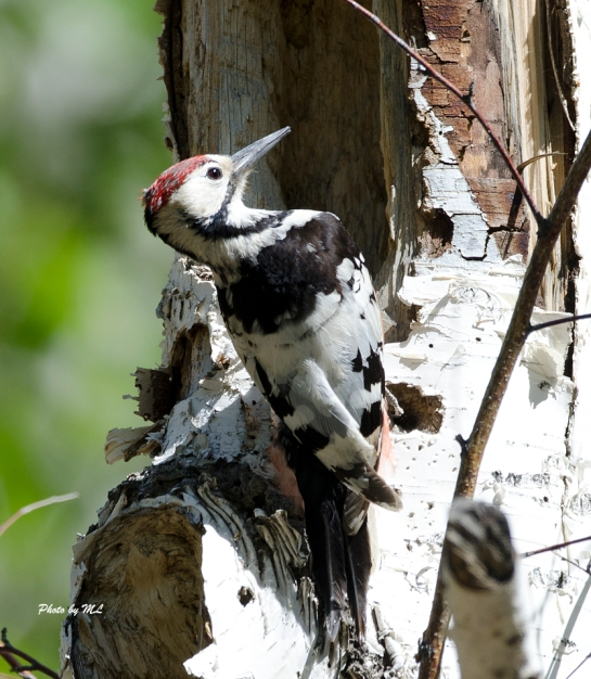 white-back woodpecker in Northern Xinjiang