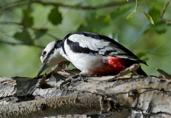 white-winged woodpecker