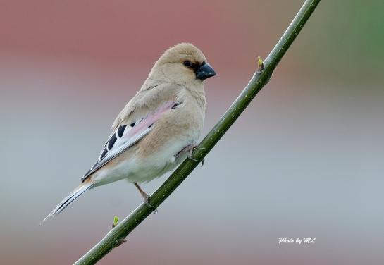 The male Desert Finch in oasis!