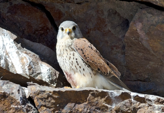 kestrel in Burqin