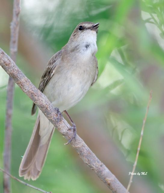 nightingale in hotel garden, Xinjiang