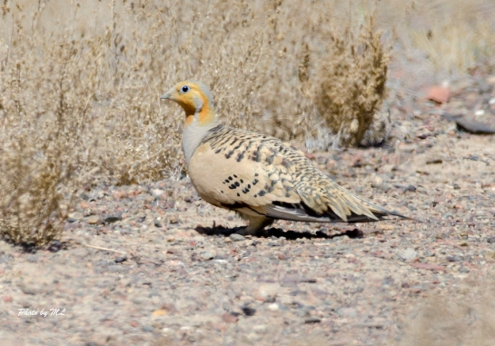 pallas sandgrouse in xinjiang