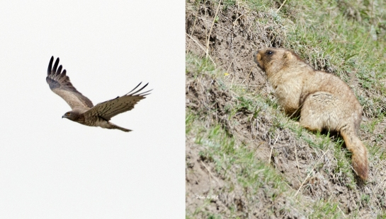 short-toed eagle and marmot in Xinjiang