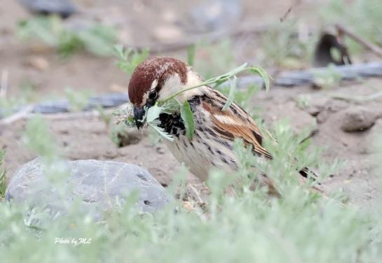 Spanish sparrow at white lake, Xinjiang