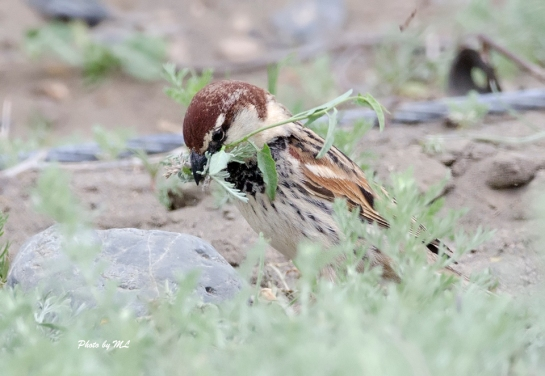 Spanish sparrow at white lake, Xinjiang