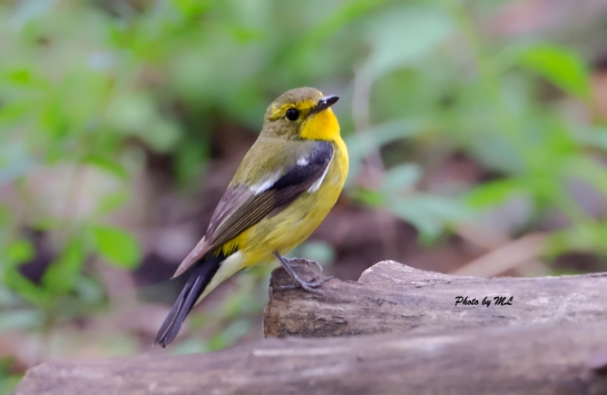 Green-backed flycatcher seen breeding in Badaling National Forest park.
