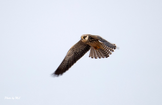 Amur falcons are common in autumn migration