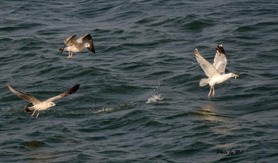 Mongolian gulls and Black-tailed gulls