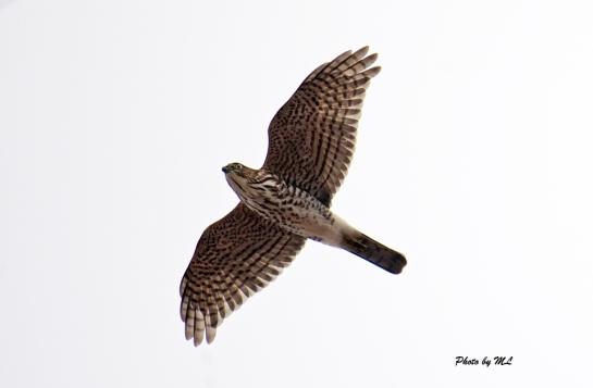 Japanese sparrowhawks are plentiful at Laotieshan
