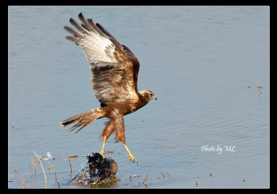 Eastern Marsh Harrier, a regular autumn visitor