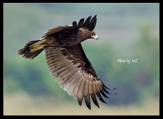 Greater spotted eagle at MP