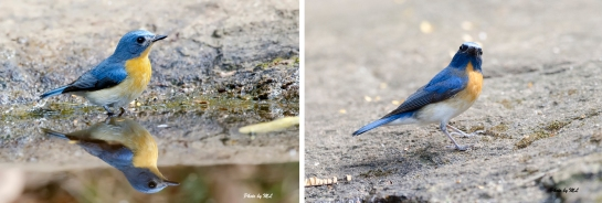 Left : Blue-throated Blue Flycatcher. Right: Tickell's Blue Flycatcher Easily separated from throat colour