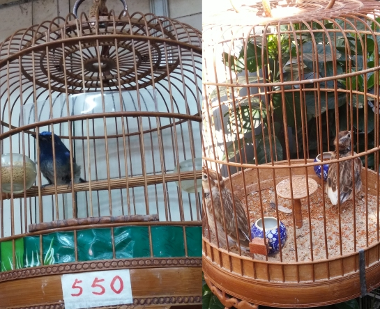 Left- Hainan Blue flycatcher for sale at HKD550, Right- 2 Mongolian larks in a small cage with poor feather condition.
