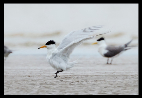 chinese crested tern in fuzhou