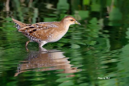Eastern Baillon's crake in Long Valley, Nov 2013