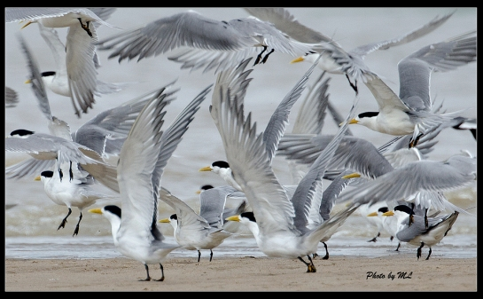 greater crested terns in Minjiang estuary, Fuzhou