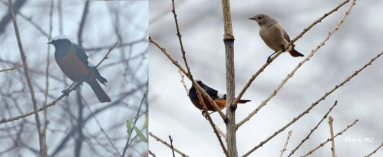 Guldenstadt's Redstarts arrived in Lingshan in late Oct.