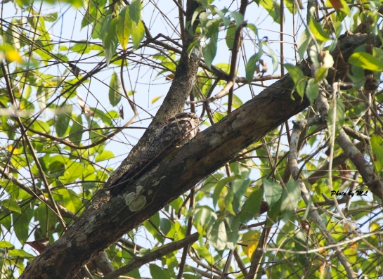 Jungle Nightjar in Kerala Can you see the bird?