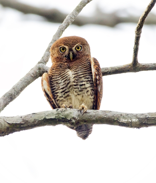 jungle owlet commonly seen in Kerala