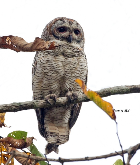 mottled wood owl in Kerala