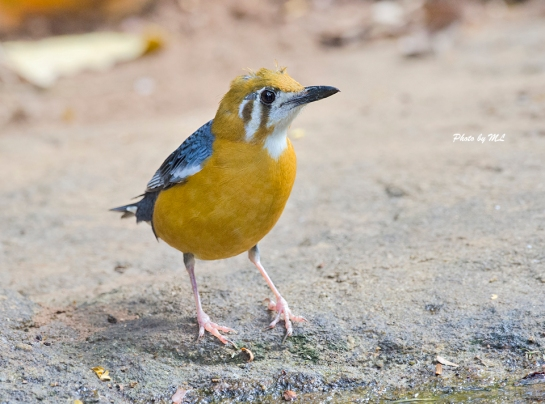 orange-headed thrush at waterhole at Thattekkad