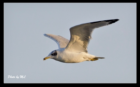 Pallas's gull in West India