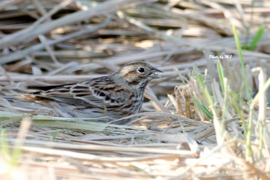 HK first Pine Bunting landed in Long Valley.