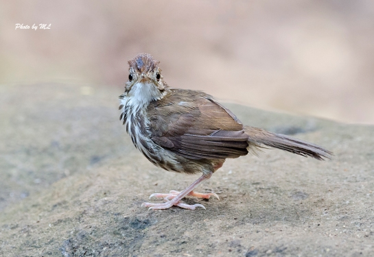 puff-throated babbler had a bath at waterhole
