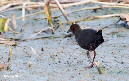 ruddy-breasted crake in Long Valley, HK, 2014