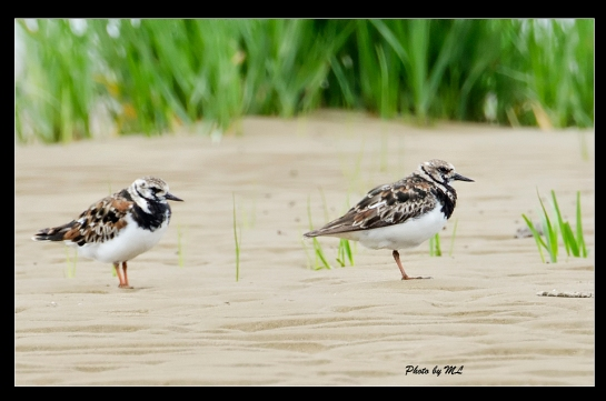 ruddy turnstone in breeding plumage in Fuzhou
