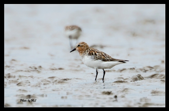 sanderling on mudland