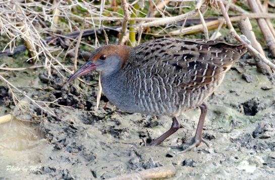 slaty-breasted rail in Long Valley, HK, 2014