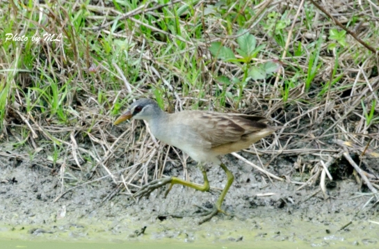 white-browed crake, 2nd record in HK, 2014