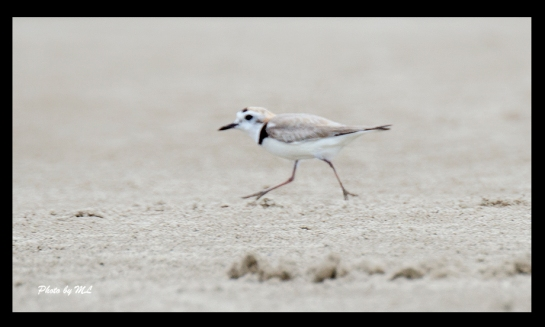 White-faced plover, quite a few in Minjiang