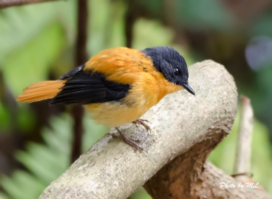black and orange flycatcher, endemic to hills of southern India